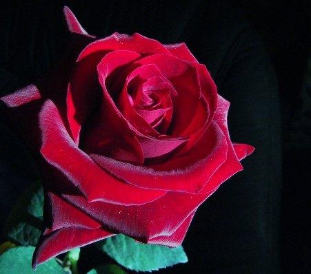 foto-rosa-roja